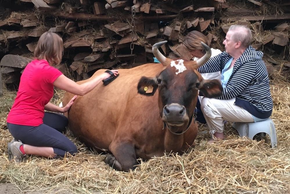 Au service des Vaches Sacrées